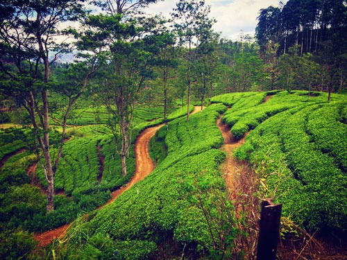 Tea Fields Sri Lanka Highlands