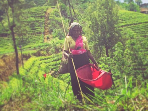 Tea Picker Sri Lanka Highlands