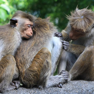Healthy monkeys taking care of each other